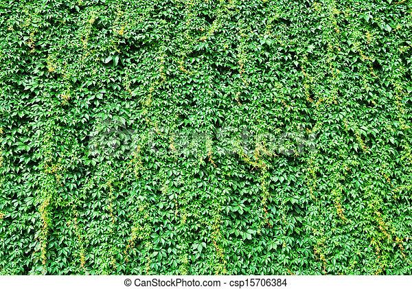 mur, grands conges, vert, couvert, lierre - csp15706384