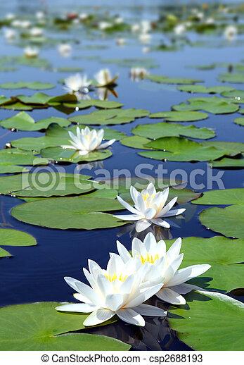 nénuphar, été, fleurs, lac - csp2688193