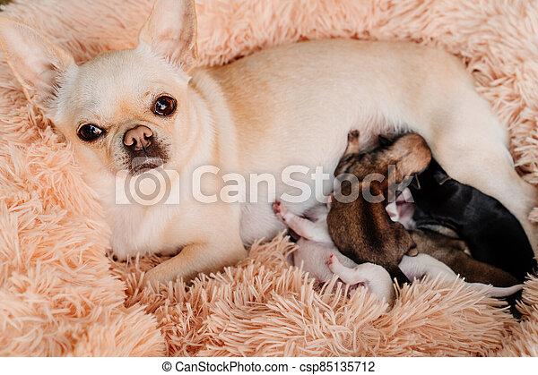 nouveau né, milk., purebred, poitrine, élevage, manger, chihuahua, chiots, dogs. - csp85135712