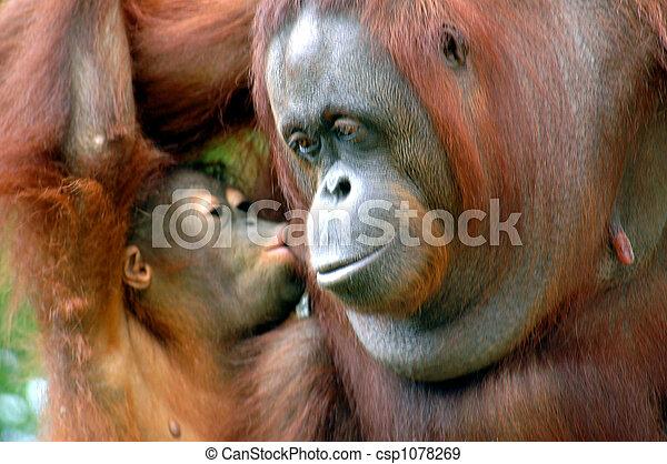 orangutans - csp1078269