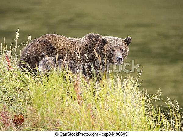 ours brun, truie, petit - csp34486605