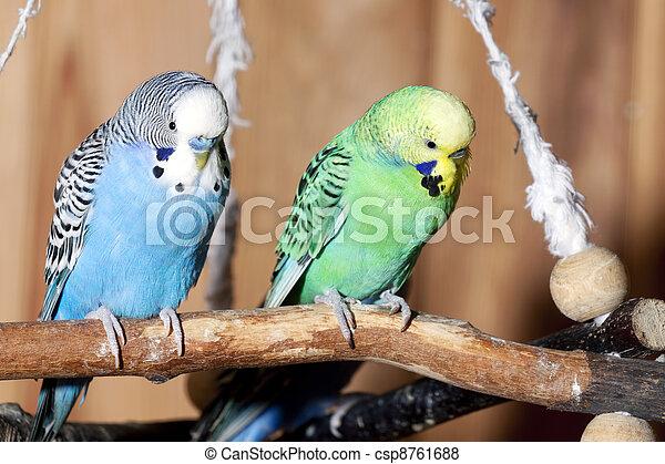 paire, bleu, perruches - csp8761688