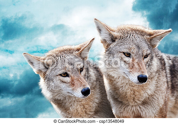 paire, coyote - csp13548049