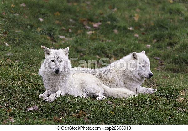paire, loups arctiques - csp22666910