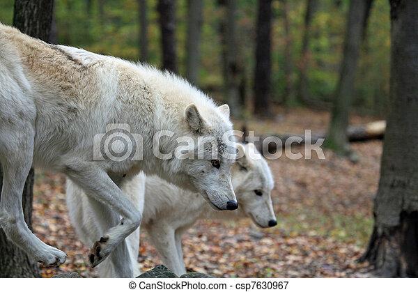 paire, loups - csp7630967