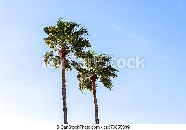 palmiers, fond - csp70855339