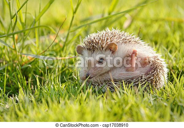 peu, herbe, vert, hérisson - csp17038910
