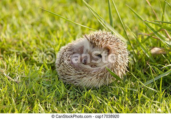 peu, herbe, vert, hérisson - csp17038920