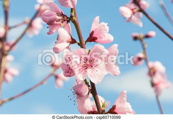 rose, pêche, ciel, arbre, arrière plan flou, fleurs, fleur - csp60710099