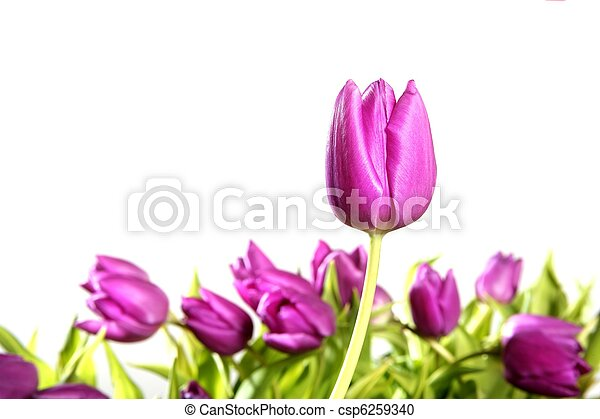 rose, tulipes, isolé, fond, fleurs blanches - csp6259340