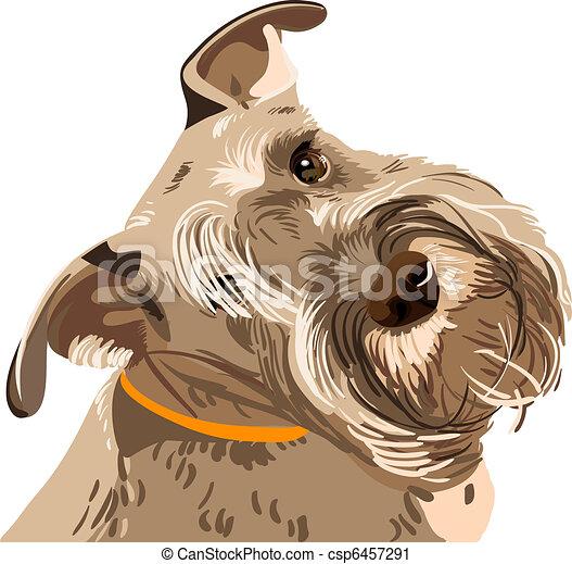 schnauzer, race, chien, miniature, vecteur, closeup - csp6457291