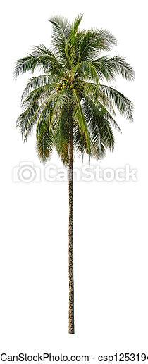 size., isolé, blanc, xxl, palmier, noix coco, arrière-plan. - csp12531940
