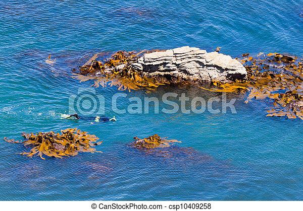 snorkeller, taureau, rochers, varech, entre, océan - csp10409258