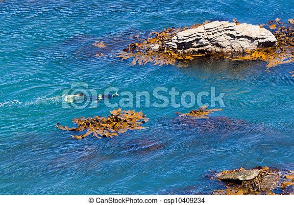 snorkeller, taureau, rochers, varech, entre, océan - csp10409234