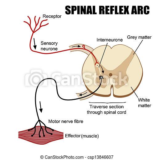 spinal, arc, réflexe - csp13846607