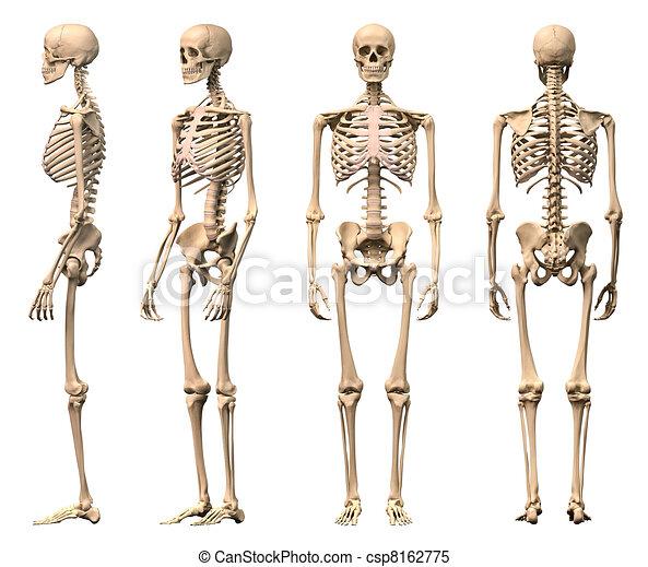 squelette, mâle, rendering., correct, scientifiquement, vues, coupure, devant, quatre, dos, humain, included., perspective., sentier, photorealistic, 3-d, côté - csp8162775