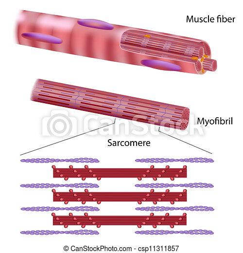 squelettique, muscle, structure, fibre - csp11311857