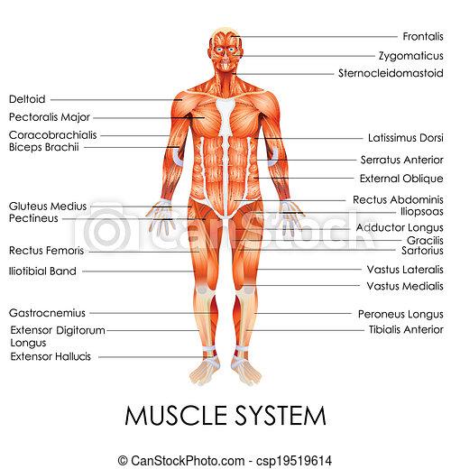 système, musculaire - csp19519614