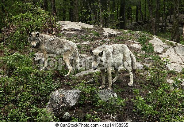 tard, loups, printemps - csp14158365