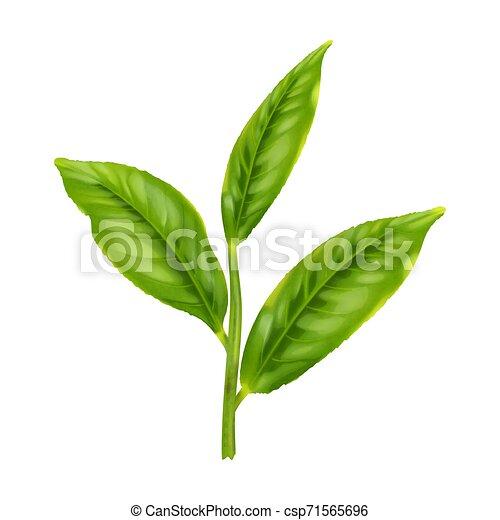 thé vert, feuille - csp71565696