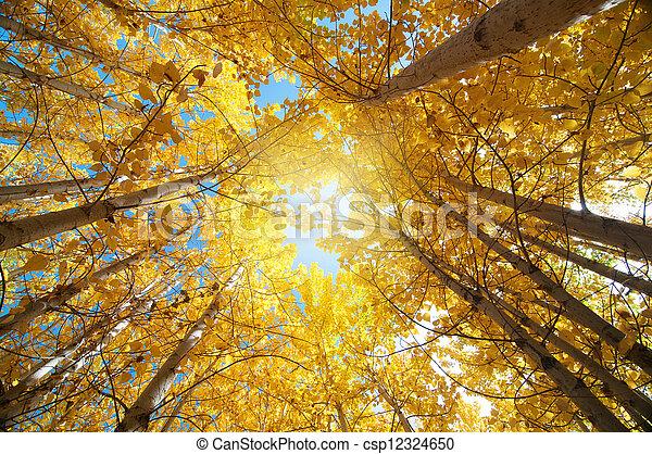 tremble, arbres, automne - csp12324650