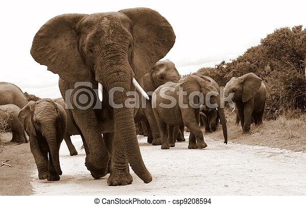troupeau, éléphants - csp9208594