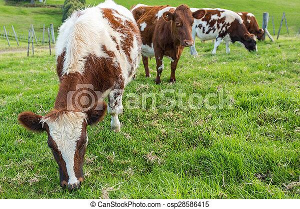 vaches, brun, herbe, manger - csp28586415
