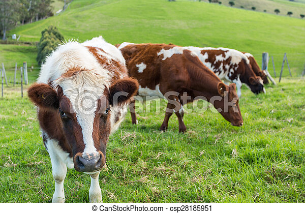 vaches, champ - csp28185951
