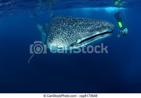 whaleshark, snorkeller, & - csp8170648