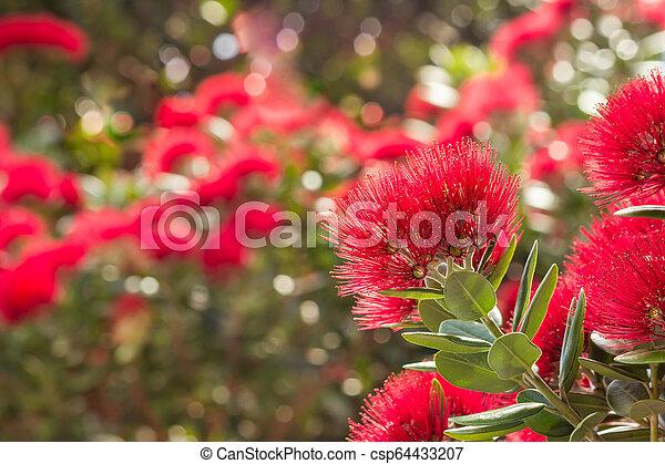 zélande, arbre, -, pohutukawa, nouveau, fleurs, fleur, noël - csp64433207