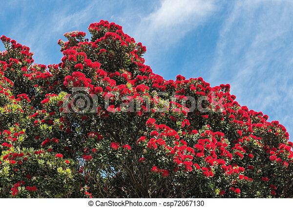 zélande, arbre, pohutukawa, nouveau, fleurs, fleur, noël, rouges - csp72067130